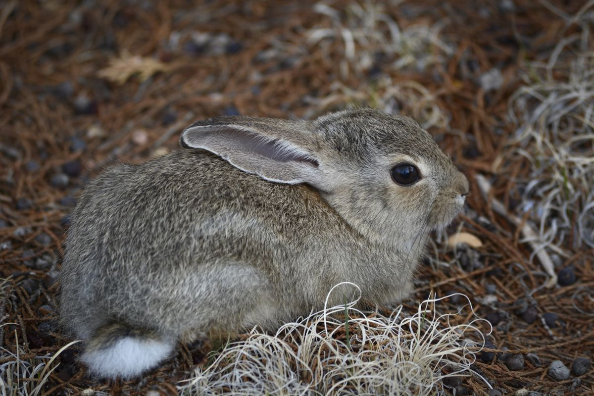 A small cottontail rabbit sitting on the ground.