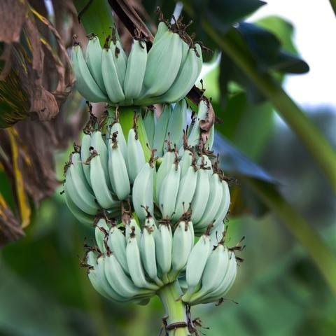 Ice Cream Banana Tree