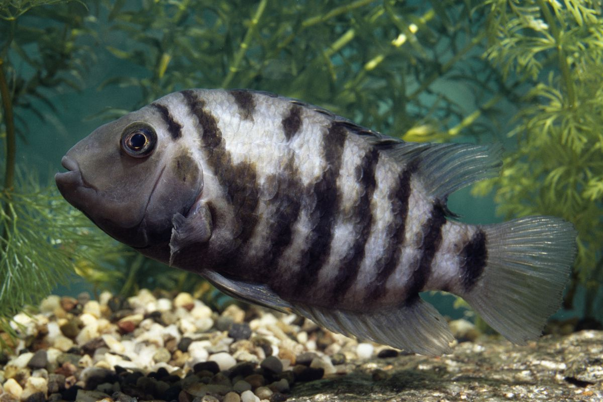 A convict cichlid fish swimming in an aquarium.