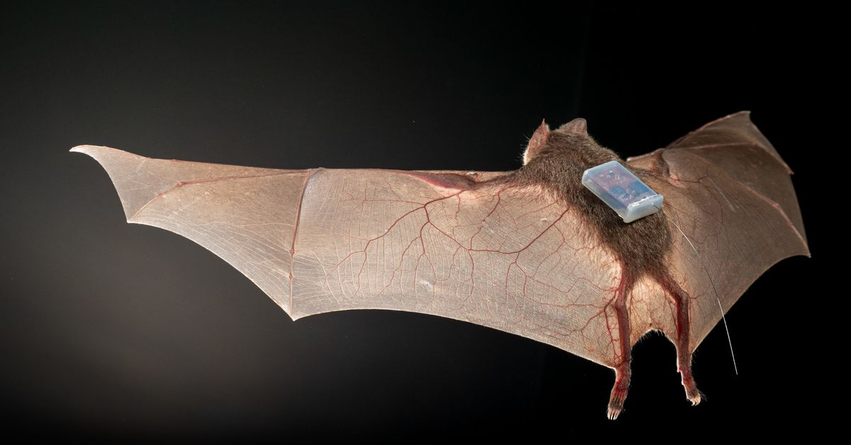 Today I learned bats are trendsetters in tracking tech – The Verge