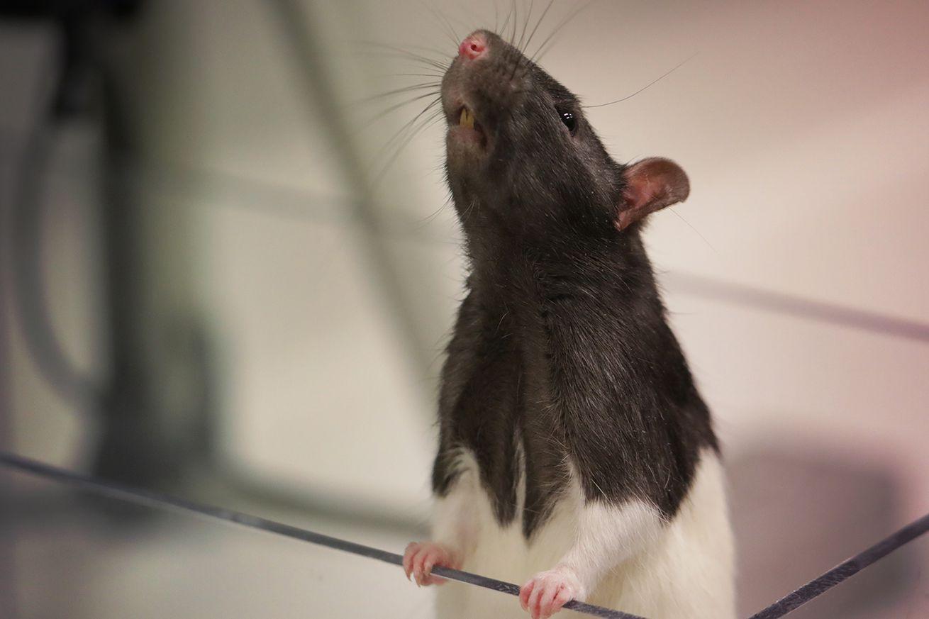 meet deepsqueak an algorithm built to decode ultrasonic rat squeaks