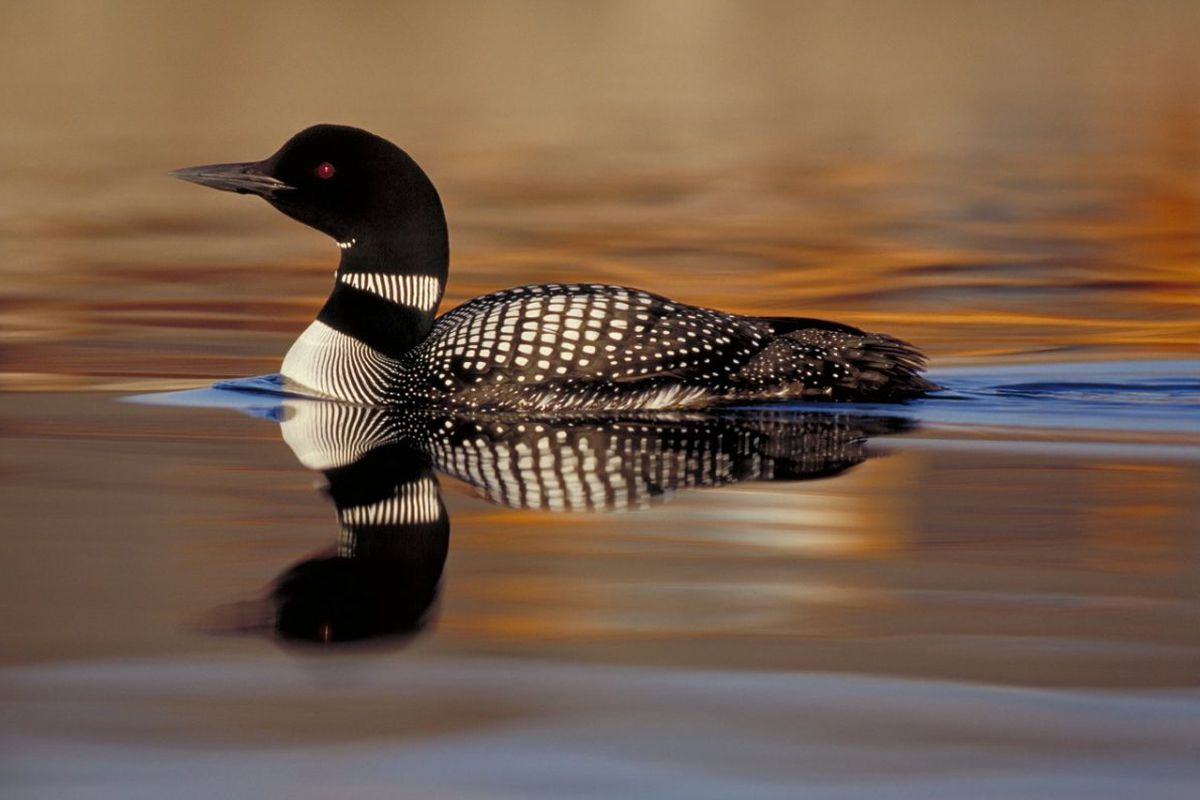 A common loon sitting in the water