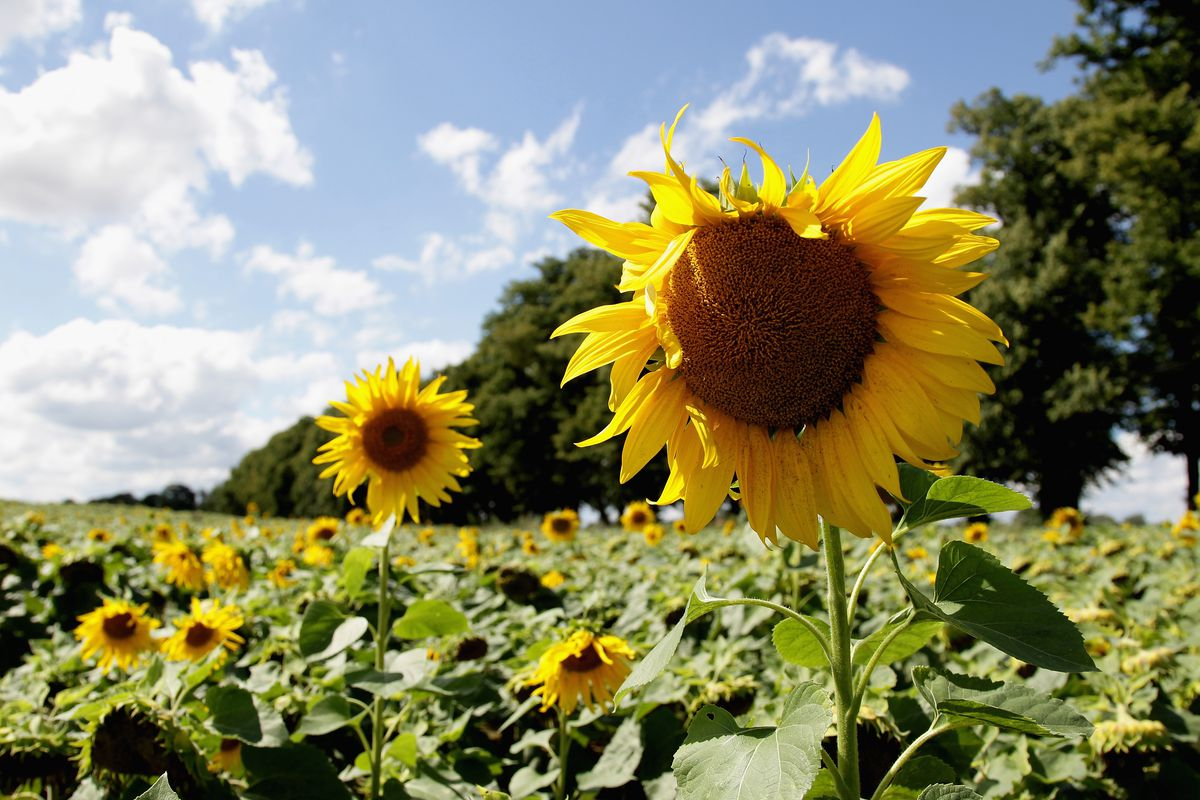 Swarms of Instagrammers force a Canadian sunflower farm to