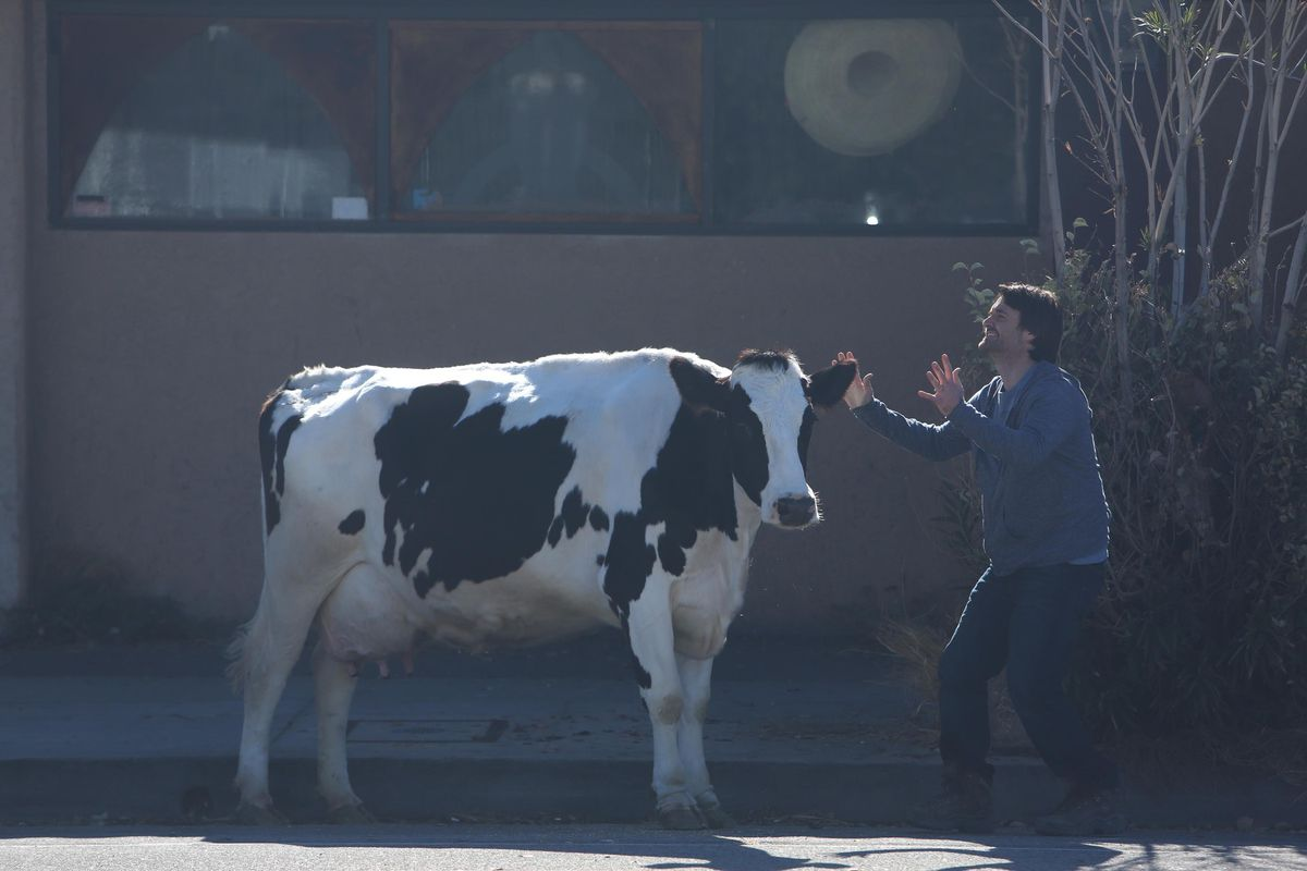 Cat the Cow's star quality cannot be dimmed by human co-star Will Forte on Fox's sitcom The Last Man on Earth.