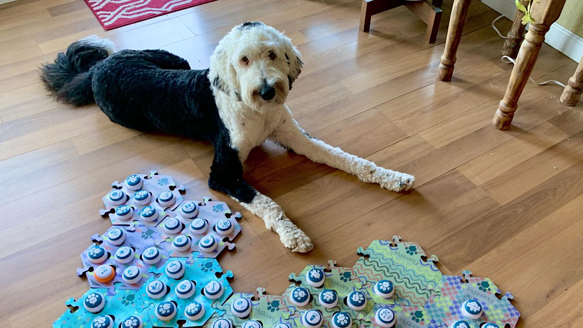 Bunny, a large black and white dog, lies on the floor with her head turned toward the camera. Next to her is a colorful mat covered in buttons with different symbols on them.
