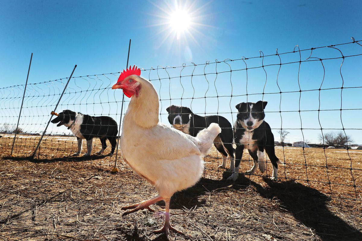 A chicken walks under the supervision of several dogs at a ranch in Vernal in 2021.