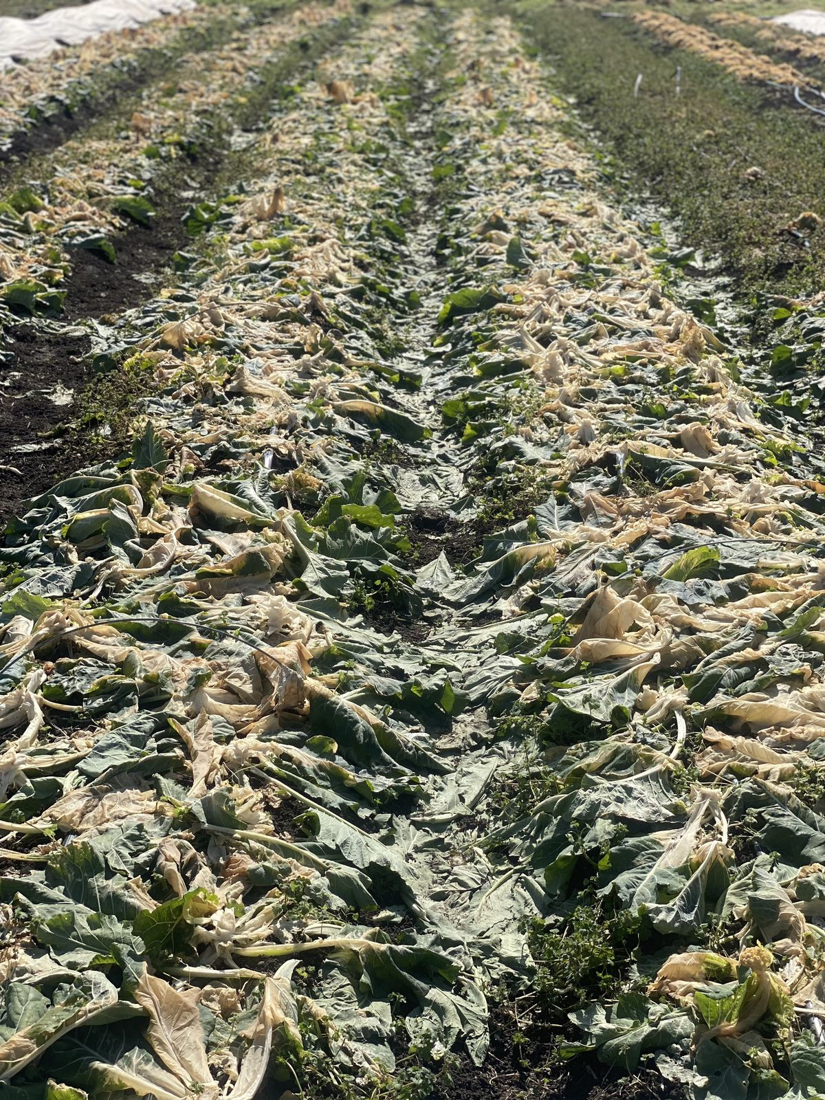 Rows of wilted green kale