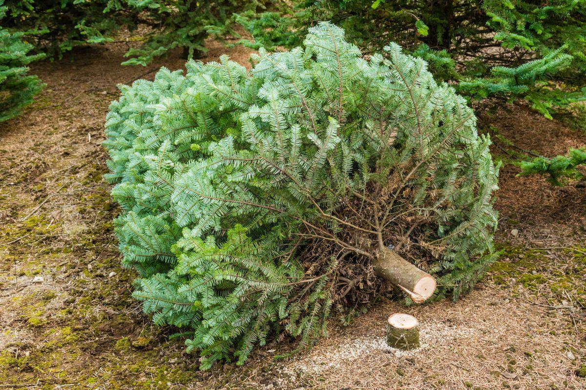 A Christmas tree cut and ready to move at a tree farm