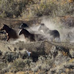 Wlild horses run into trap after being herded into it by a helicopter during the Bureau of Land Management's Range Creek horse gather near Wellington, Carbon County, on Tuesday, Oct. 1, 2019.