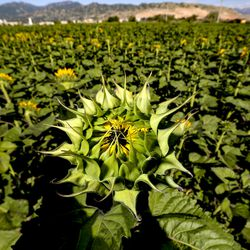 A sunflower blossom begins to bloom at the Cross E Ranch Sunflower Festival in Salt Lake City on Tuesday, July 14, 2020. The festival features a 14-acre sunflower field planted with over 20 varieties of different shapes, sizes and colors.