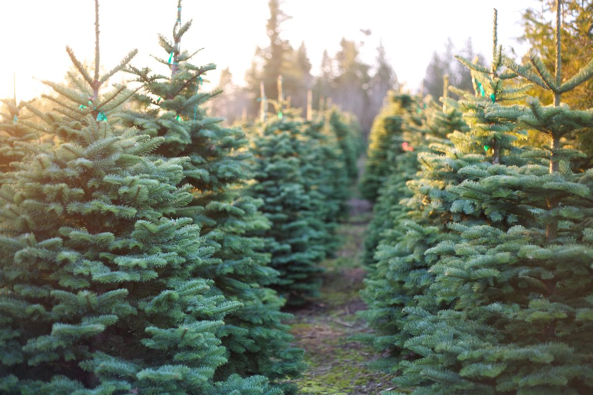 Live Christmas Tree Selection Buying Planting Care This Old House