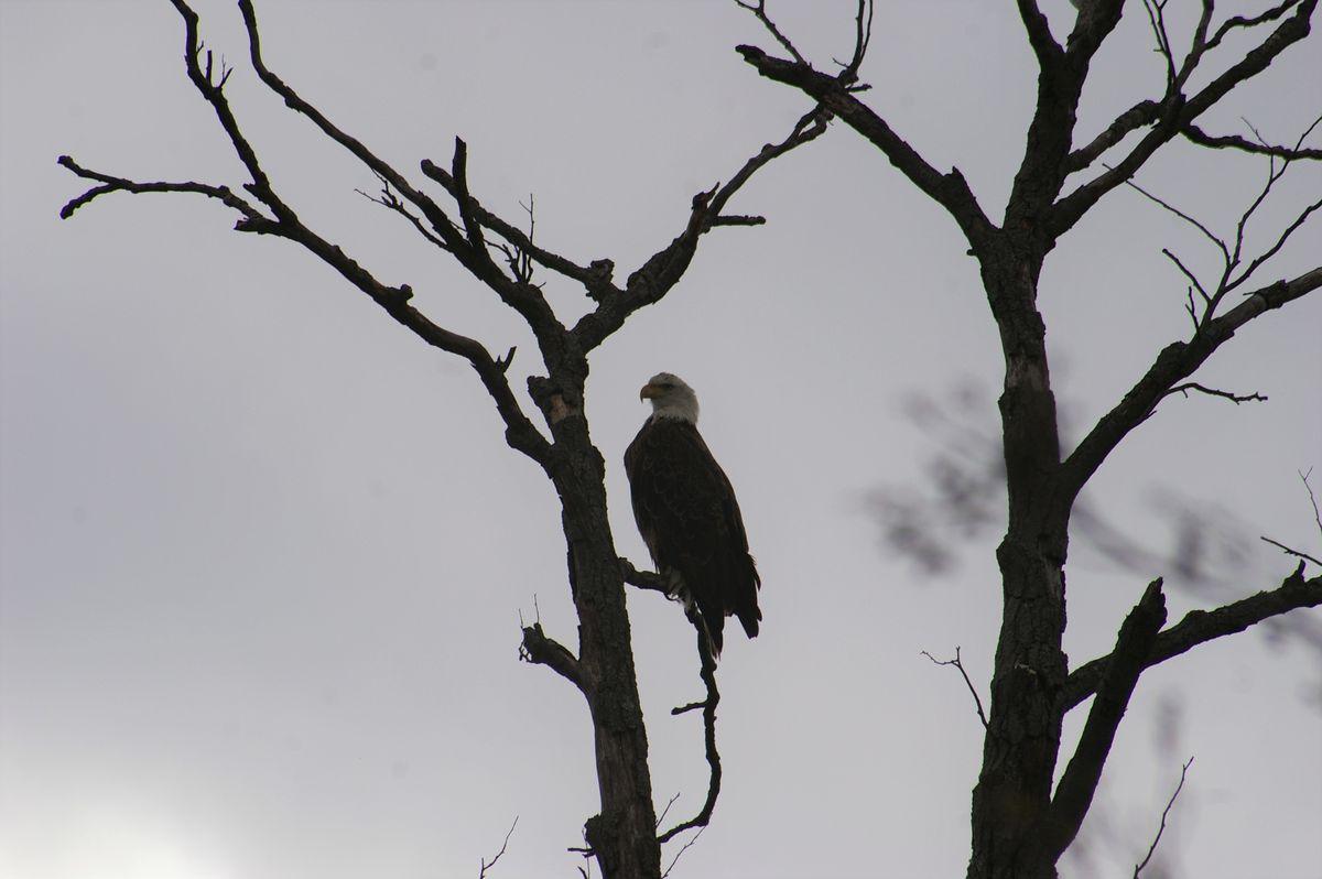 A bald eagle sitting starkly in a tree. Credit: Sondra Katzen