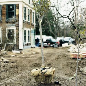 Planting trees like this disease-resistant elm can block the source of noise from view.