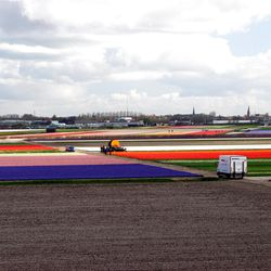Tulip production fields in the Netherlands. The Dutch grow some 3 billion bulbs annually.
