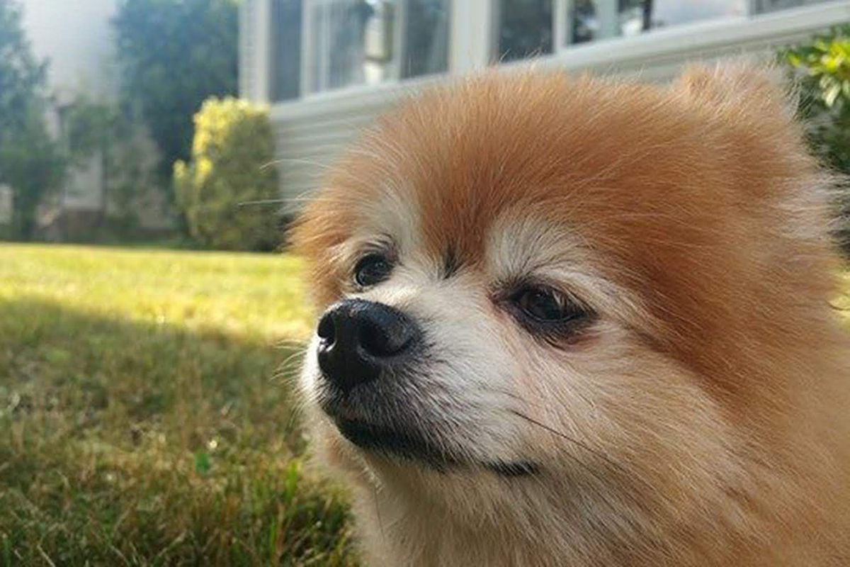 Buddy, a 13-year-old Pomeranian, died about a week after he was operated on by a veterinarian.