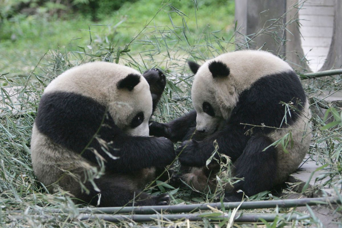 Panda Offer To Taiwan Gets Cold Shoulder By Government