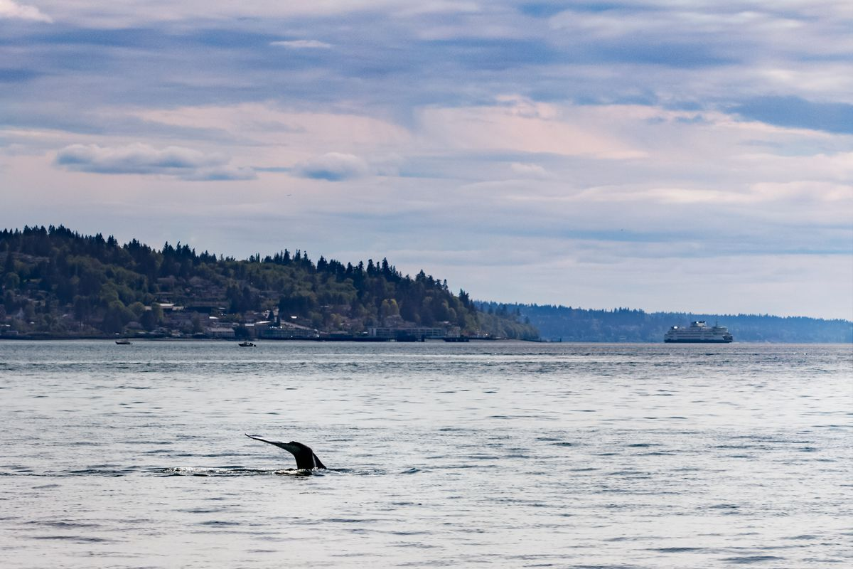 The tail of a whale is visible above the surface of the water. In the background, hilly land masses are covered in evergreen trees. A ferry boat is in the background to the right.