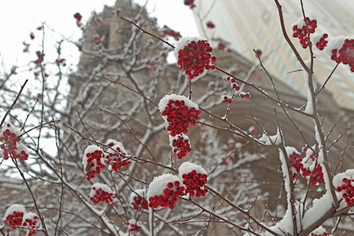 """Clumps of berries add color to a winter-like display as snow falls in Chicago. Image via <a href=""""http://www.flickr.com/photos/11086755@N00/5233313436/#/"""">Larry Bryant's Flickr stream</a>"""
