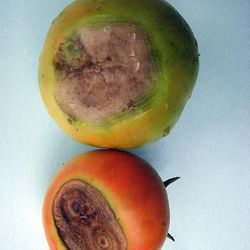 Blossom end rot on tomatoes in Utah is caused by inconsistent watering.