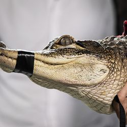 Florida alligator expert Frank Robb shows off an alligator he rescued from the Humboldt Park Lagoon.