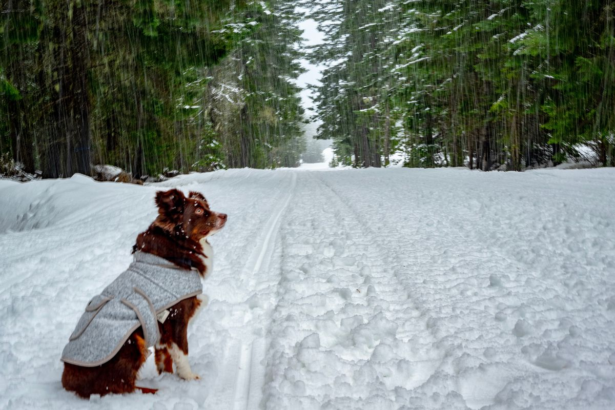 A brown dog wearing a gray coat stands in the snow by some vehicle tracks on a path leading into dense evergreen trees.