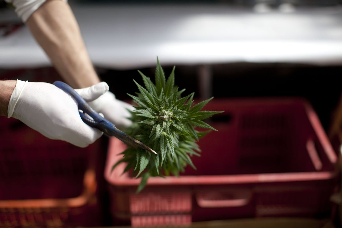 Someone clipping a  weed plant