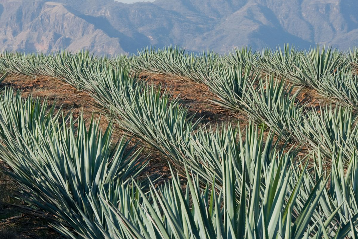 Beyond Tequila Alternative Agave Spirits To Know Eater