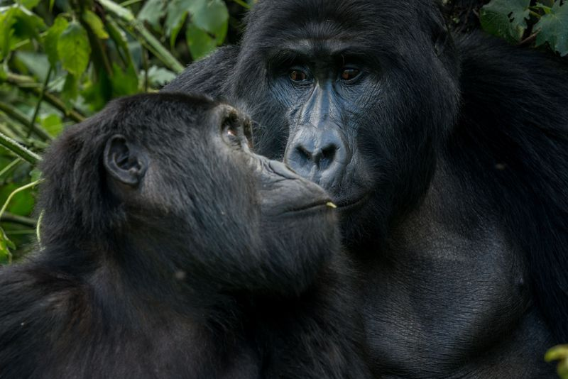 Mountain gorillas in Bwindi Impenetrable Forest in Uganda.