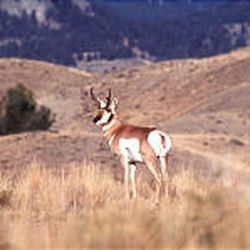 The number of hunting permits for Utah's pronghorn antelope increased to 587 this year from 412 permits in 2004.