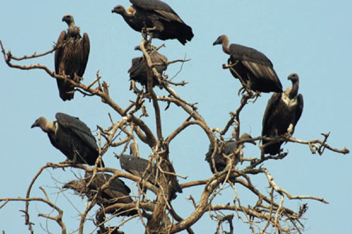 """Images via <a href=""""http://newswatch.nationalgeographic.com/2008/09/05/vultures/"""">National Geographic</a>"""