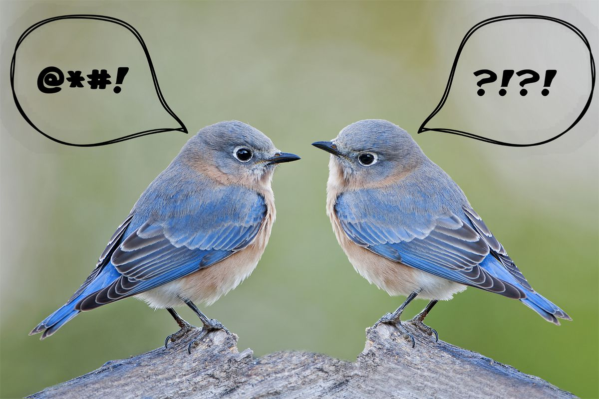 """A photo of two bluebirds with voice bubbles, one saying """"@*#!"""" and the other """"?!?!""""."""