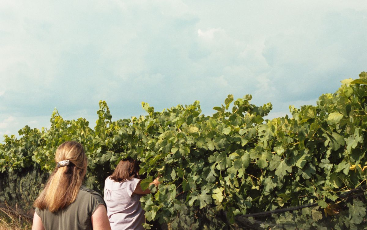 A woman in a pale purple shirt picking through tall leafy grapevines with her back to the camera as another woman looks on.