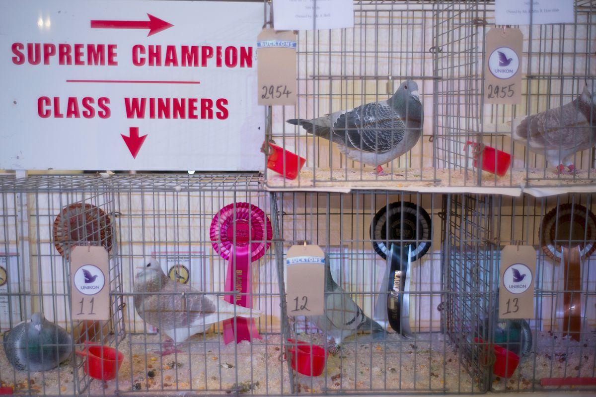 The British Homing Pigeon World Show
