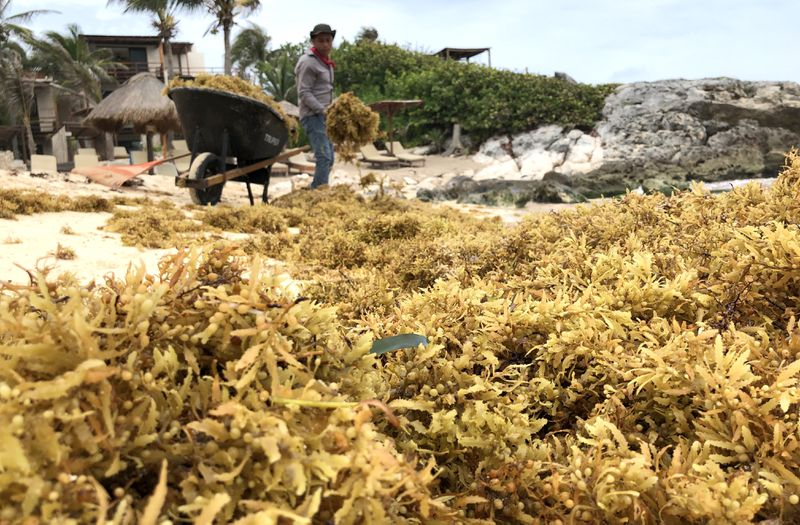 Seaweed-Like Algae Threatens Mexico's Riveria Maya Tourism Industry As It Washes Up Upon Once Pristine Beaches