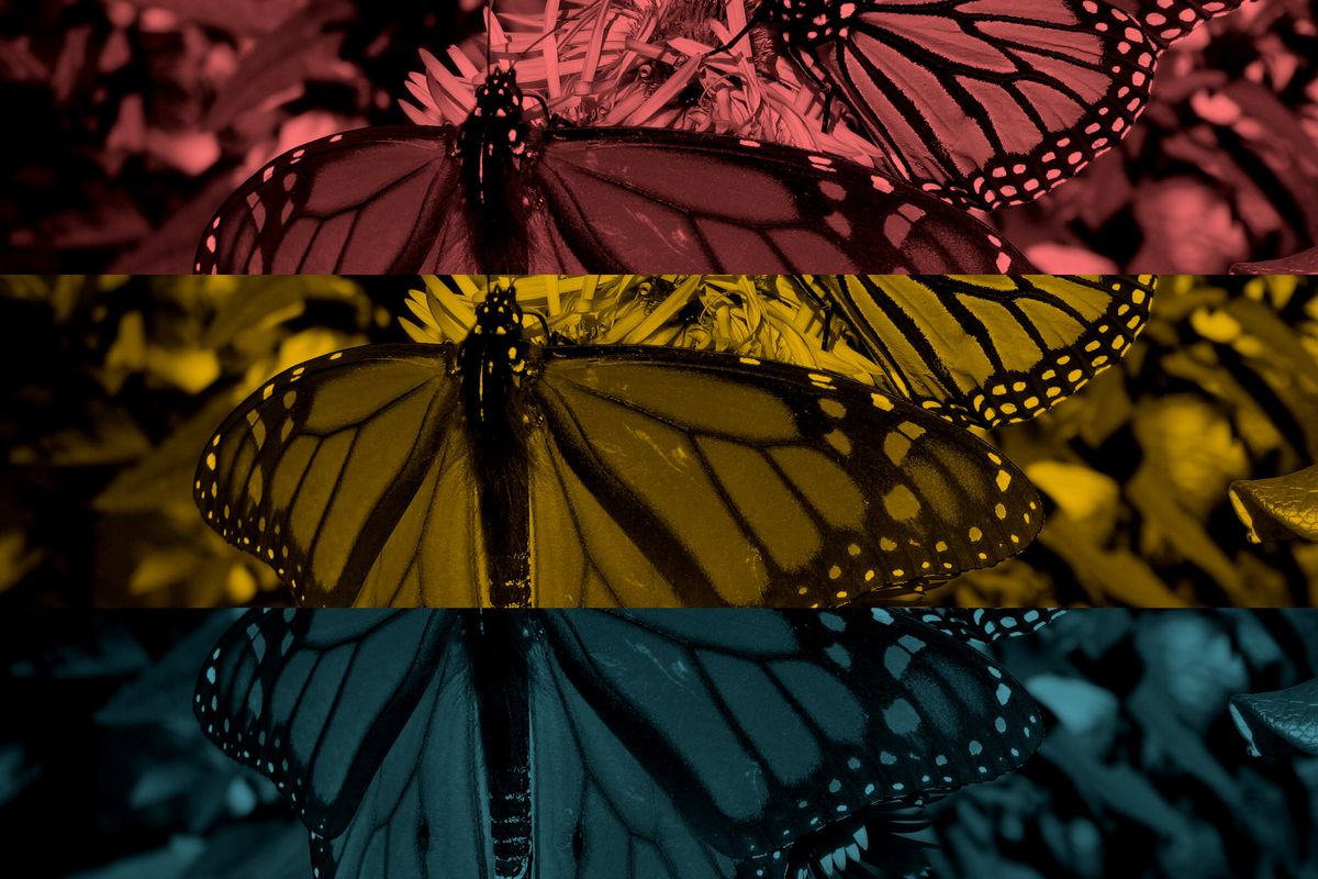 Monarch butterflies are headed for extinction. We may have to get ...