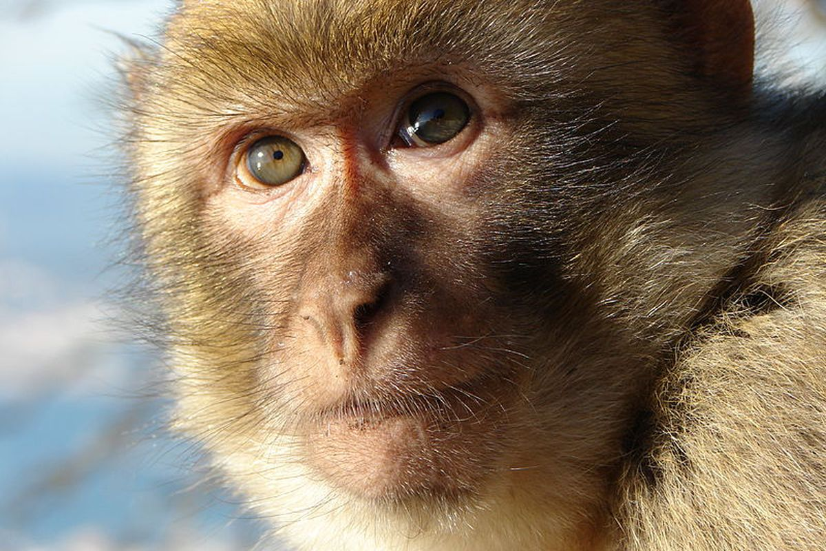 Comparison of monkey and human brains reveals the \'unique properties ...