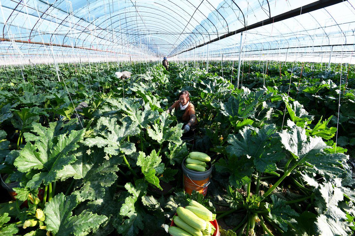 China Hebei Vegetable Planting Base