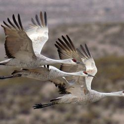 This undated photo courtesy of Arizona Game and Fish Department shows sandhill cranes in flight. From the sandhill crane to the red-faced warbler, rock stars of the birding world have spawned a tourism industry in Arizona that draws bird-watchers from around the world.