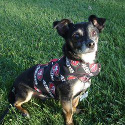 "<a href=""https://www.etsy.com/listing/202015740/san-francisco-49ers-team-logo-jacket?ref=sr_gallery_20&ga_search_query=san+francisco+49ers&ga_page=2&ga_search_type=all&ga_view_type=gallery""> Dog jacket</a>, $22."