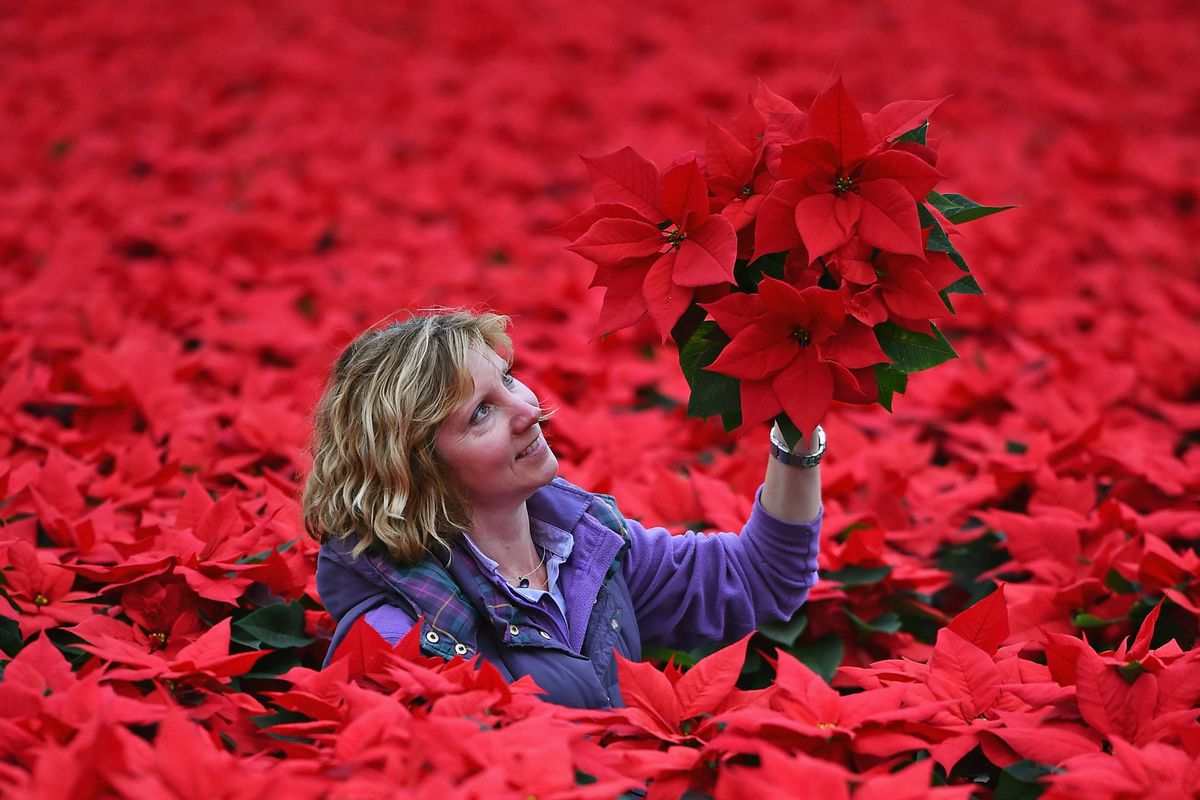 look at all those damn poinsettias