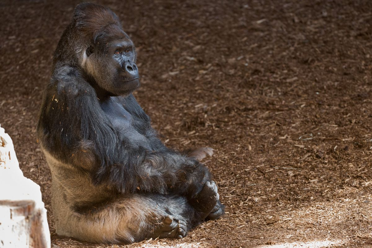 the freakout over harambe the gorilla shows the dangers of internet