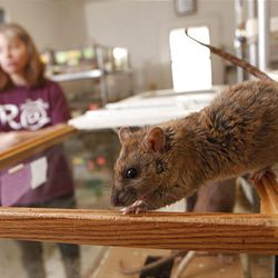 Karen Robbins, president of the Riverside-based American Fancy Rat and Mouse Association cares for her rats and mice at her Los Angeles home.