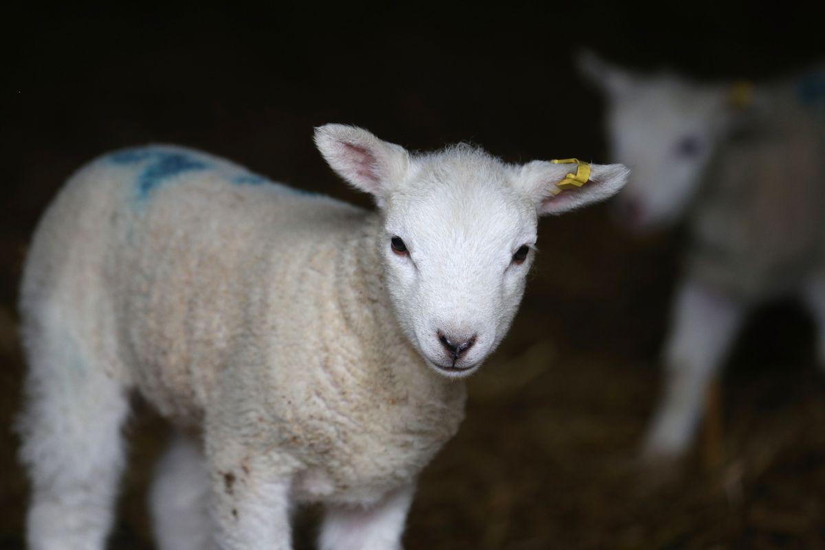 A Farmer Helps His Ewes Give Birth As Lambing Season Begins