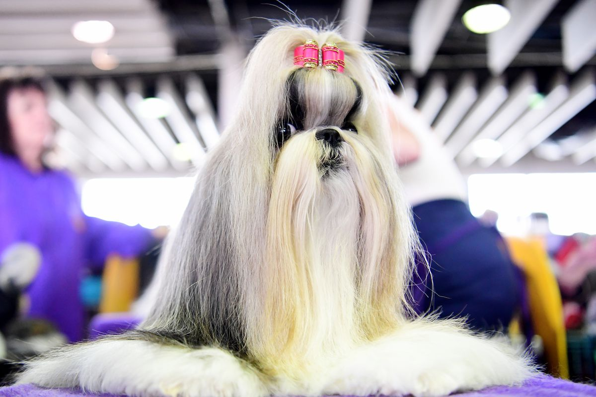 Westminster Dog Show 2019 live stream: Time, TV schedule