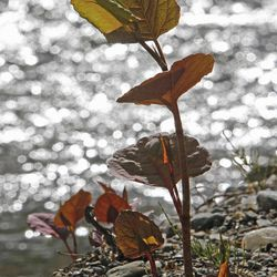 In this April 26, 2012, photo, Japanese knotweed grows on a stream bank in Bethel, Vt. The flood waters of Tropical Storm Irene and work to remove silt and restore roads afterward had an unintended consequence: they spread Japanese knotweed, an invasive plant that has already clogged some river banks and roadsides in Vermont.