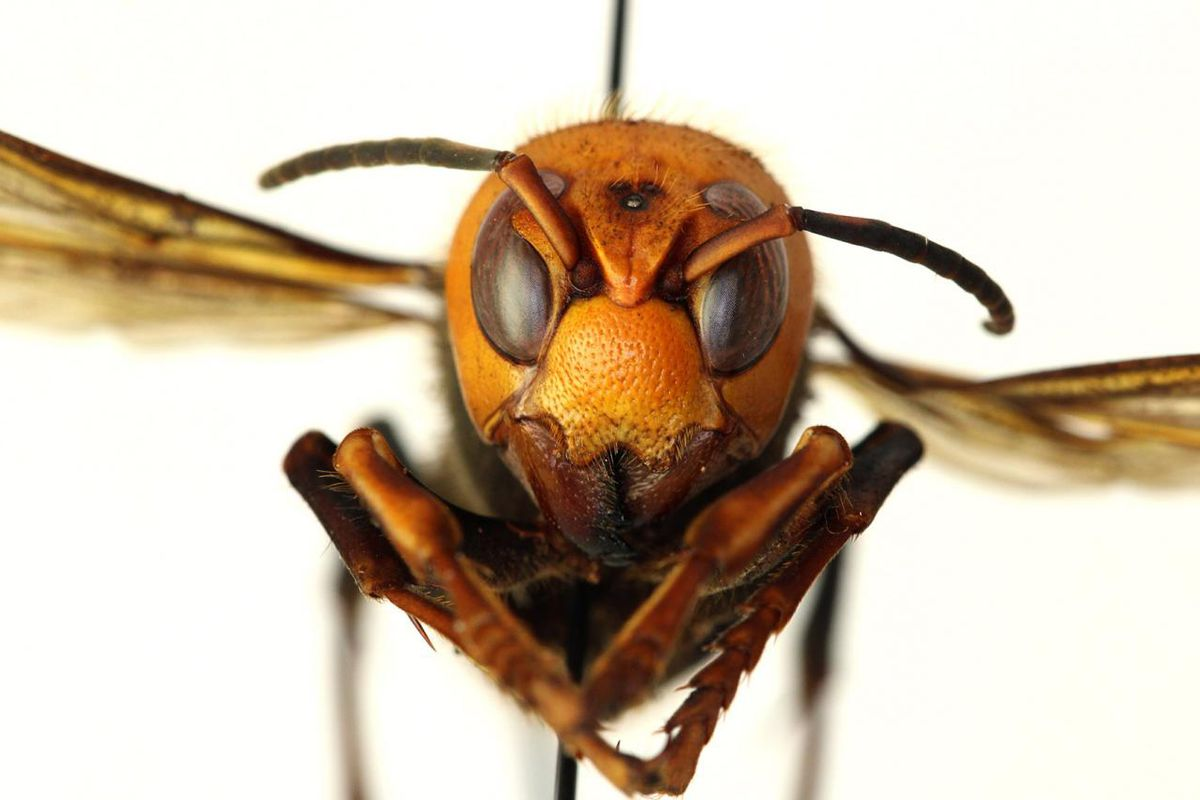 The world's largest hornet, the Asian giant hornet has been encountered in the Pacific Northwest. New research at Washington State University predicts where the hornet could find suitable habitat, both in the U.S. and globally, and how quickly it could spread, should it establish a foothold.Photo courtesy WSDA