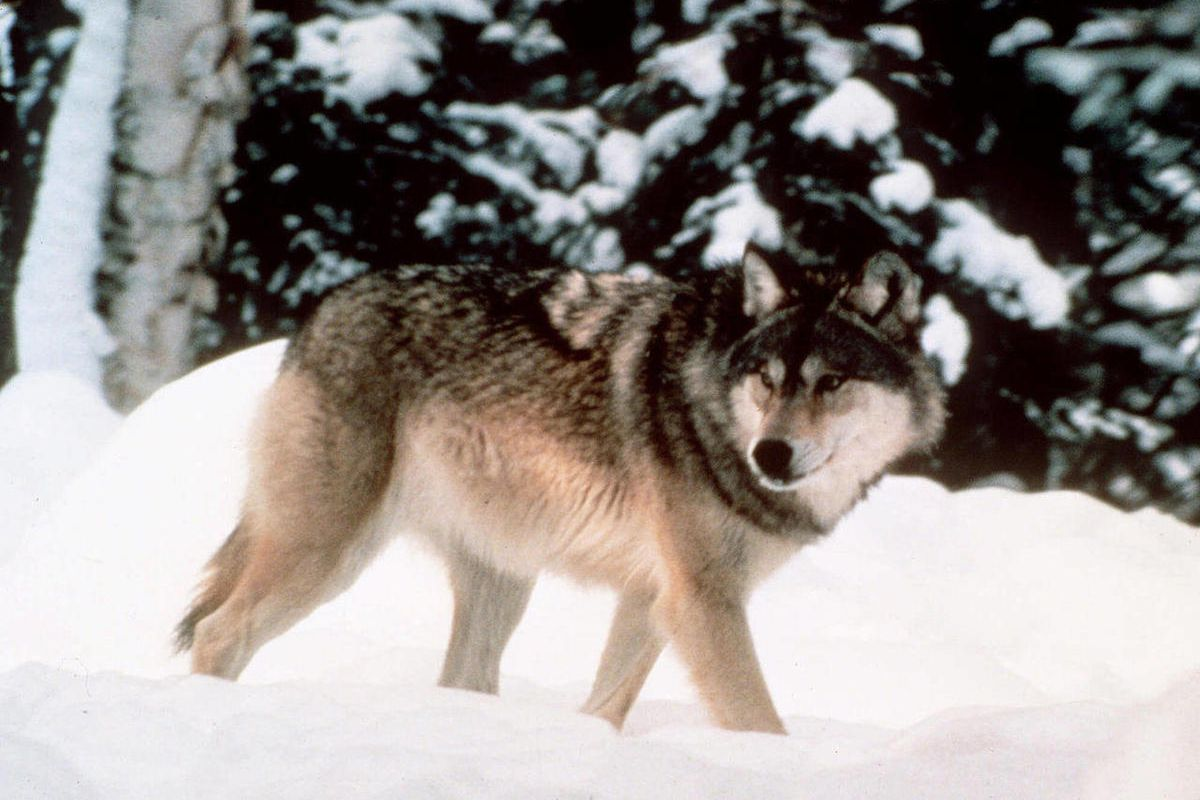 FILE - This image provided by Yellowstone National Park shows a wolf walking through the snow in Yellowstone National Park in Wyoming. U.S. Fish and Wildlife Service is expected to announce Friday Aug. 31, 2012, that it is ending protections for wolves in