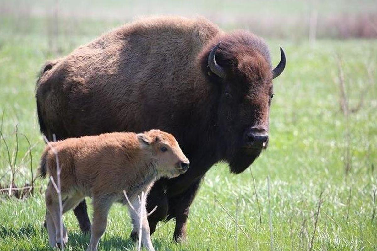Bison calves at Midewin National Tallgrass Prairie in  2019. USDA Photo by Richard Short