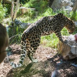 A boy watches as an Amur leopard searches for his treats in the ice during the animal ice enrichment on Ice Block day at Hogle Zoo on Saturday, July 11, 2015 in Salt Lake City.
