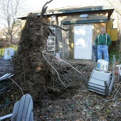 Max Madsen shows one of two large pine trees on his property that fell during the early morning wind storm. The trees fell on Bri Saley's home next door Thursday, Dec. 1, 2011.